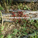 Mengobati tanaman cabe yang terkena penyakitPatek Antraknosa atau Buah terbakar