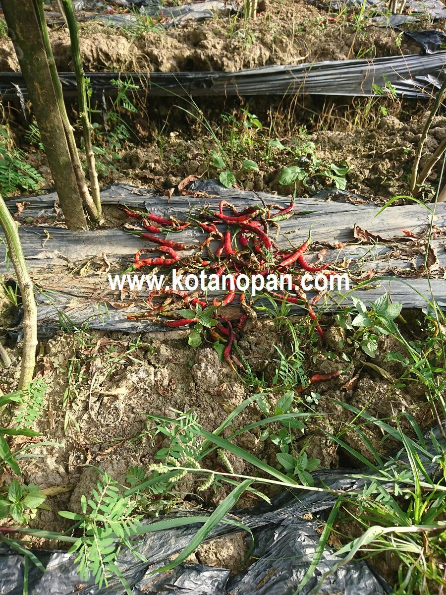 kotanopan com Ciri buah cabai terkena patek antrakson atau buah kering